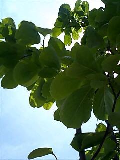 ハクモクレンの葉っぱ